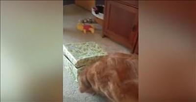 Golden Retriever Opens Box With Puppy Inside