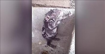Rat In A Shower Acts Just Like A Human