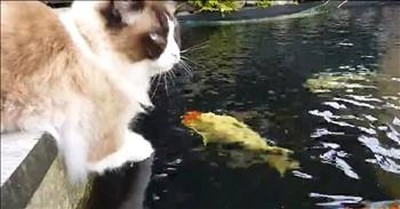 Cat And Koi Fish Form Unlikely Friendship