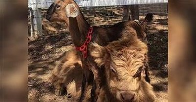 Cow And Goat Are Unlikely Friends