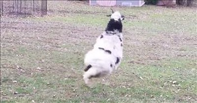 Happy Sheep Cannot Stop Jumping Around