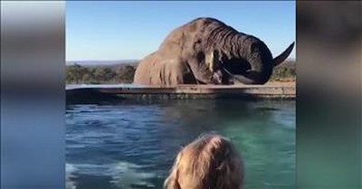 Elephant Visits Hotel Pool And Drinks Water