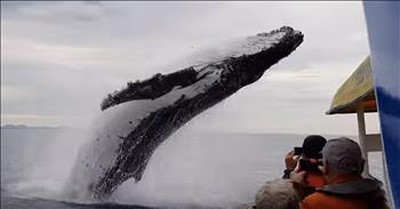 Whale Leaps From The Water To Soak Sightseeing Boat
