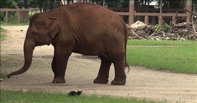 Big Elephant Wants To Play With Cat