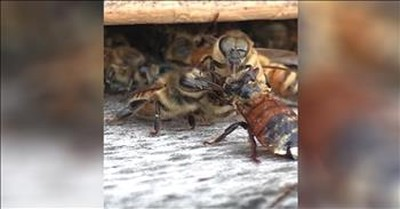 Bees Work Together To Help Hurt Friend
