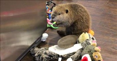 Rescued Beaver Uses Household Items To Build Adorable Dams