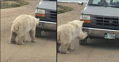 Inquisitive Polar Bear Is Fascinated By His Own Reflection In Truck Bumper