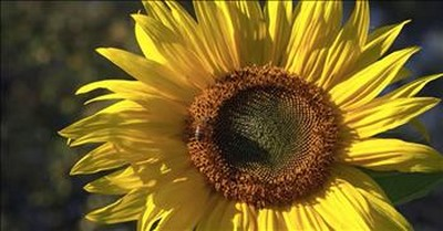 Woman Captures A Sunflower's Sound And It's Mesmerizing