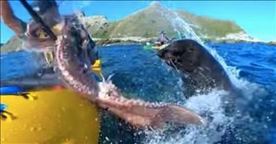 Seal Slaps Kayaker with An Octopus
