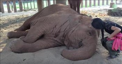 Rescued Elephant Falls Asleep When It Hears This Sweet Lullaby