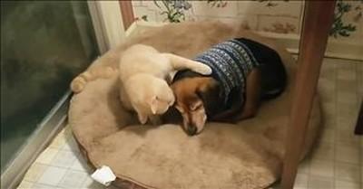Caring Cat Helps Comfort Sick Dog