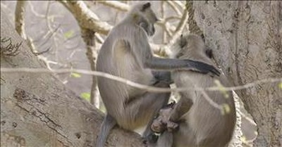 Grieving Mother Does Not Want To Leave Dying Infant Monkey