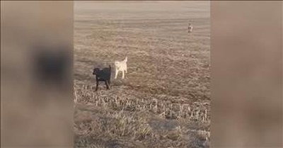 Missing Dog Turns Up With Goat And Another Dog