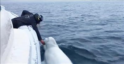 Beluga Whale Plays Fetch With Boaters