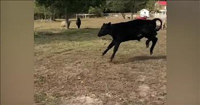 Rescued Cow Walks On Grass For The First Time