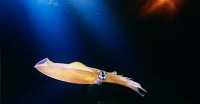 Color-Changing Squid Is Absolutely Mesmerizing