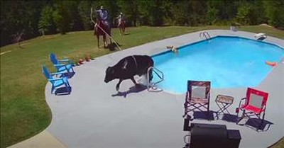Cow On The Loose Takes A Dip In Neighbor's Pool