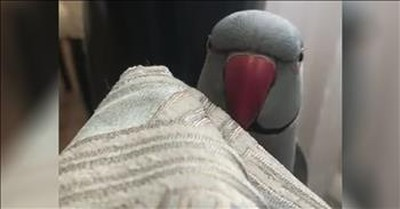 Funny Parrot Plays Peek-A-Boo With Owner