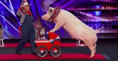 Trained Pigs Pork Chop Revue Bring The Laughs On America's Got Talent