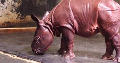 11-Day-Old Rhino Calf Has The Best Reaction To His Shower