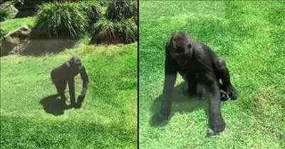 Caring Gorilla Helps Injured Bird