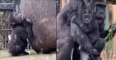 Baby Gorilla Clings To Mom At The Sight Of Snow
