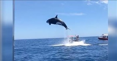 Boaters Capture Video Of Orca's Extraordinary Leap
