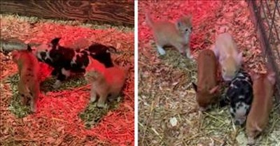 Rescue Kitten Makes Her Home With A Family Of Pigs