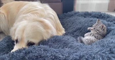Dog Has Hilarious Reaction To Finding A Tiny Kitten Snuggled Up On His Bed