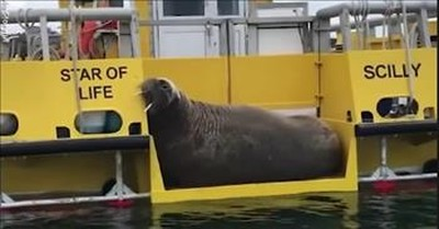 Sleepy Walrus Takes A Nap On The Side Of A Boat