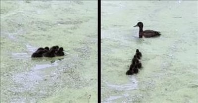 Mama Duck Plays Adorable Game Of Hide And Seek With Ducklings