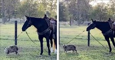 Camera Captures Pig Trying To Walk A Horse