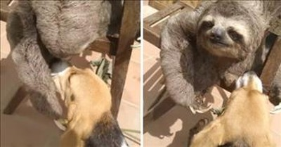 Sloth Petting A Puppy Is The Best Thing You'll See All Day