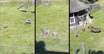 Goat And Rooster Run To Save Chicken From Hawk Attack