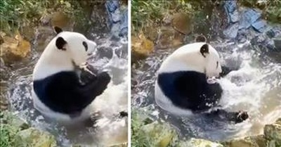 Adorable Baby Panda Takes A Bath And Internet Is Here for It