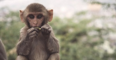 A monkey, scientists successfully create human-monkey embryo hybrids sparking ethical concerns