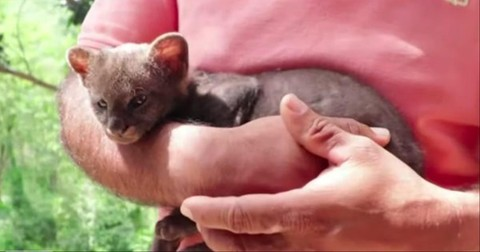 Farmer+Rescues+Baby+%27Kitten%27+That+Is+Actually+A+Cougar