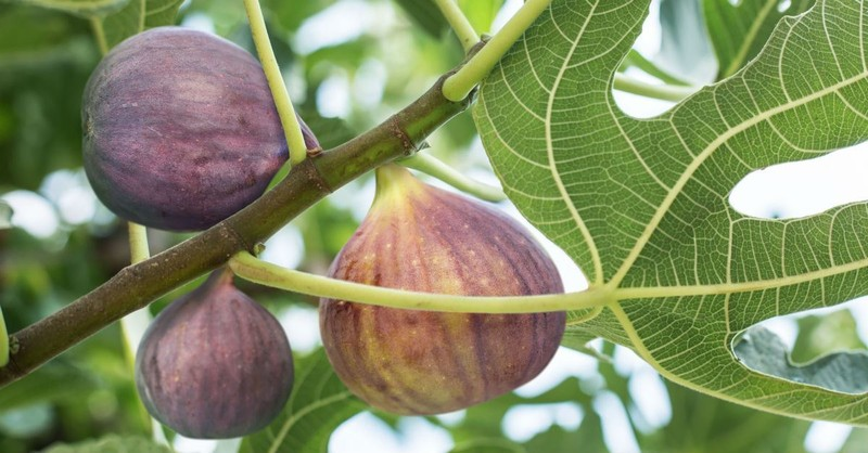 Why Did Jesus Curse the Fig Tree?
