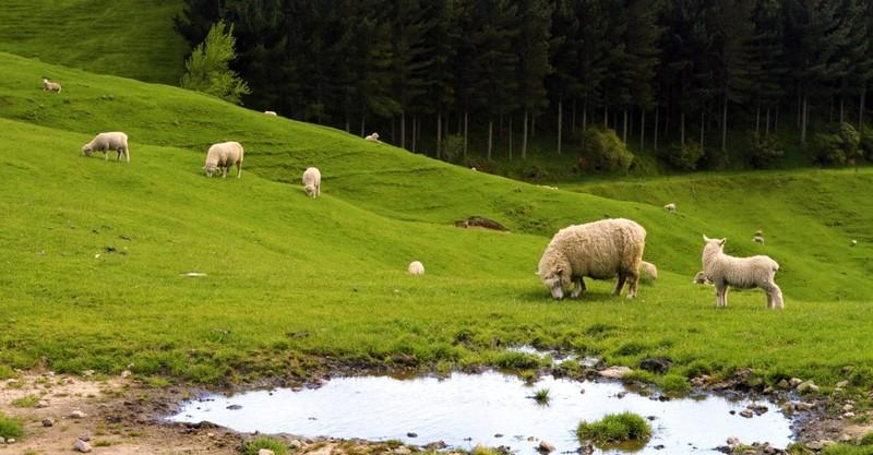 Shepherds, Sheep, and Talking Heads