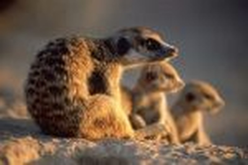 Mom's the Boss in Animal Planet's <i>Meerkat Manor</i>