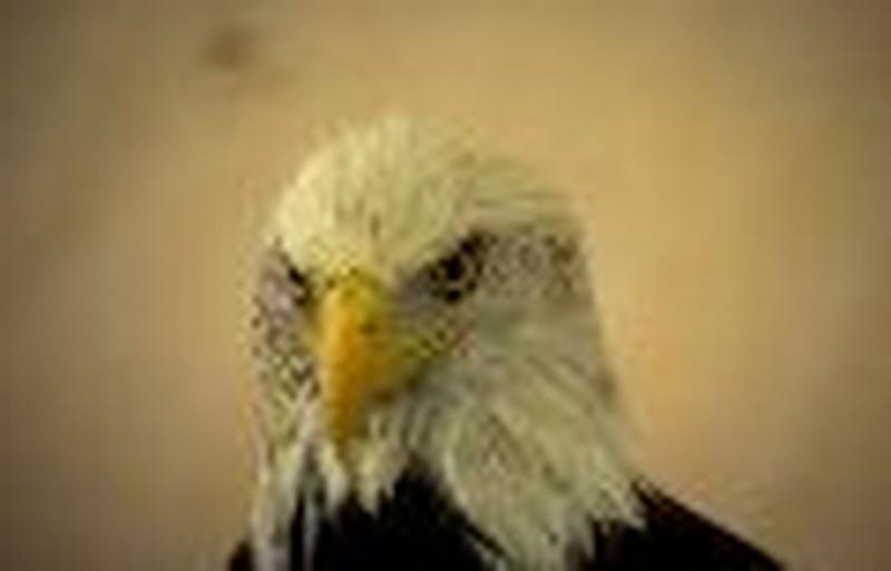 Courage Like An Eagle
