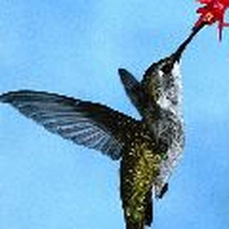 Study Hummingbirds!