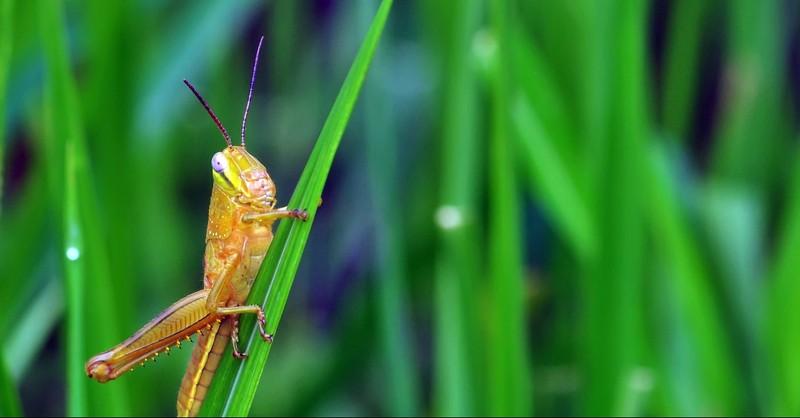 A locust on a grass
