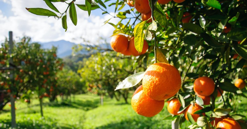 orange tree grove, fruit of the spirit