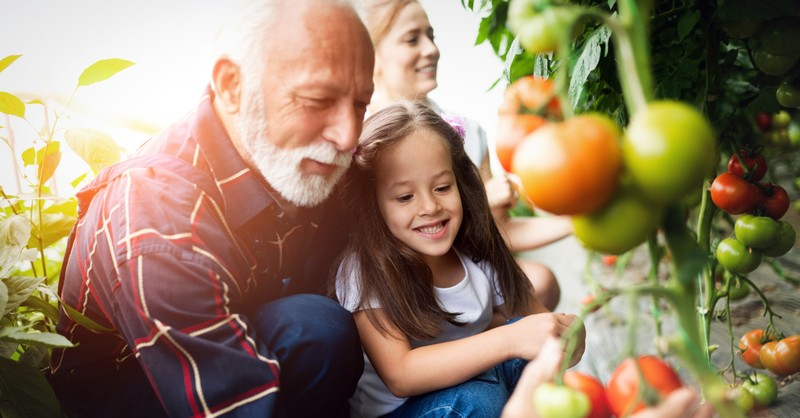 two generations granddad and granddaughter and mom picking tomatoes
