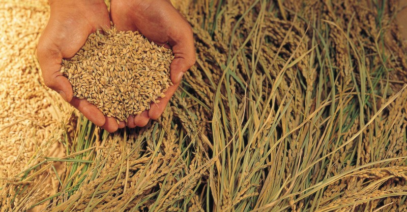 hands cupped holding harvested wheat