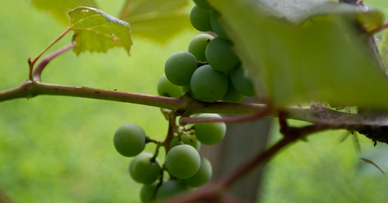 I Am The Vine You Are The Braches Meaning Of John 15 5