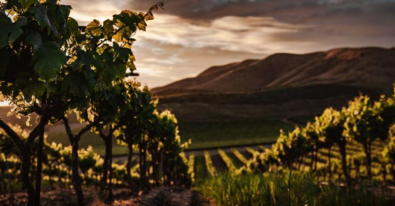 vineyard of grapevines, true vine