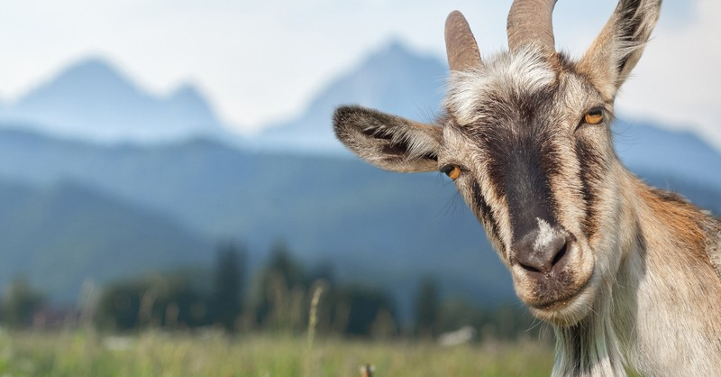 goat outside in field peering at camera - why is satan a goat