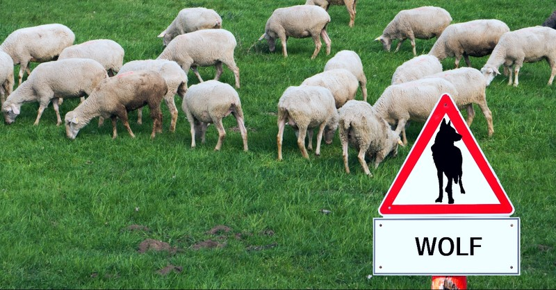 Sheep with a warning sign of a wolf